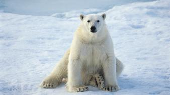 Animals polar bears sitting Wallpaper