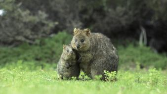 Australia animals baby islands quokka wallpaper