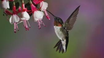 Birds feeding flowers fuchsia hummingbirds Wallpaper
