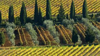 Italy cypress trees vineyard wallpaper