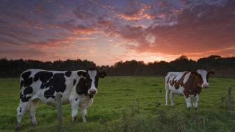 The netherlands cows sunset wallpaper