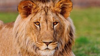 African slovakia animals lions wallpaper