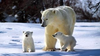 Animals baby polar bears white winter Wallpaper