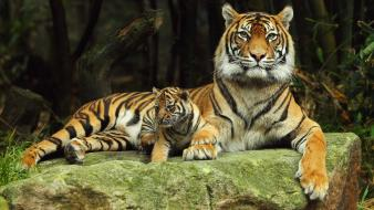 Animals baby tigers wallpaper