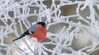 Animals birds branches bullfinch frozen wallpaper
