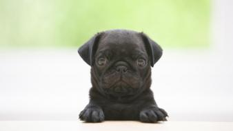 Animals black dogs pugs puppies wallpaper