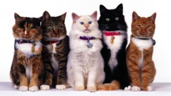 Animals cats kittens pets white background Wallpaper