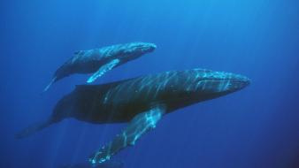 Animals sealife underwater whales wallpaper