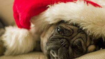 Christmas hat animals dogs pugs wallpaper