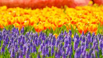 Depth of field flowers hyacinths multicolor tulips wallpaper