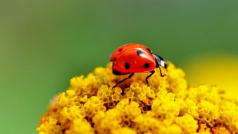 Flowers insects ladybirds macro nature wallpaper