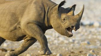 Namibia national park animals black rhinoceros charging wallpaper