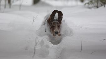 Animals basset hound dogs snow wallpaper