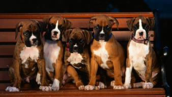 Animals boxer dog dogs puppies wallpaper