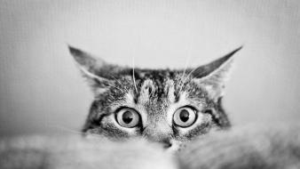 Animals cat eyes cats greyscale wallpaper