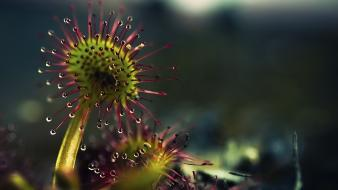 Carnivorous plant dew exotic flowers nature wallpaper