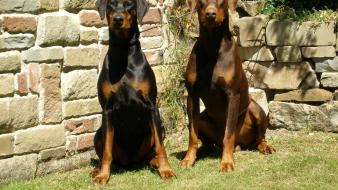 Doberman pinscher animals dogs wallpaper