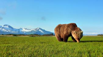 Virtual animals forests grass grizzly bears wallpaper