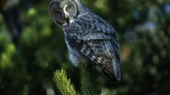 Wyoming birds grey nature owls wallpaper