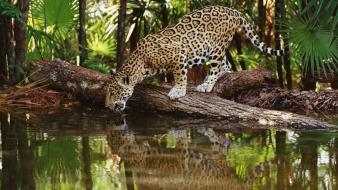 African jaguars lakes palm leaves reflections wallpaper