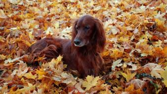 Animals autumn dogs fallen leaves irish setter wallpaper