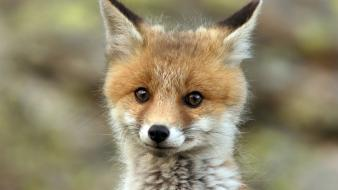 Animals baby foxes red wallpaper
