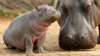 Animals baby hippopotamus Wallpaper