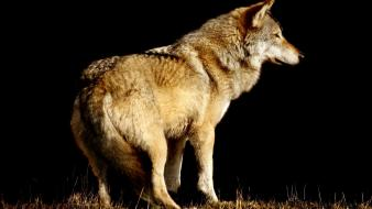 Animals black background wildlife wolves wallpaper