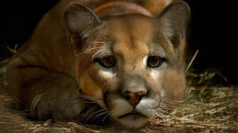 Animals cats puma Wallpaper