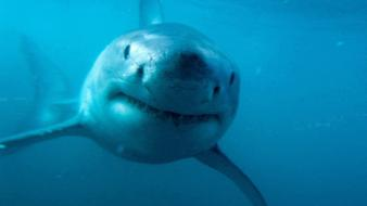 Animals fish great white shark predator sharks wallpaper