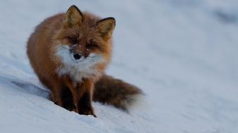 Animals foxes wildlife wallpaper