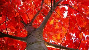 Autumn leaves nature red trees wallpaper