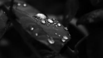 Black and white leaves nature water drops wallpaper
