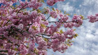 Blue skies cherry blossoms clouds flowers trees wallpaper