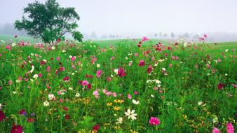 Cosmos flower fields flowers mist wallpaper