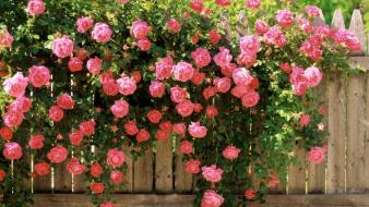 Pink flowers roses wallpaper