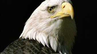 Alaska bald eagles birds nature wallpaper