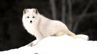 Animals arctic fox foxes nature snow Wallpaper