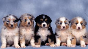 Animals australian shepherds baby blue background dogs wallpaper