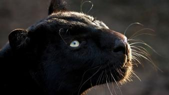 Animals black panthers wallpaper