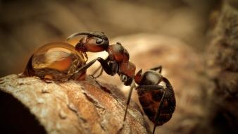 Ants insects macro water drops Wallpaper
