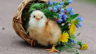 Baby birds baskets chicks chickens flowers wallpaper
