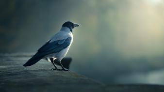 Birds crows fog mist wallpaper