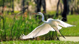 Birds egrets flying great egret herons wallpaper