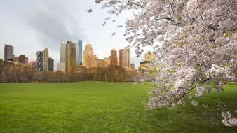 Central park york cherry blossoms meadows sheep wallpaper