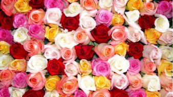 Colors flowers roses wallpaper