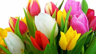 Flowers multicolor tulips white background wallpaper