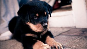 Rottweiler animals baby dogs nature wallpaper