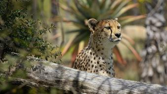 Africa animals cheetahs spotted wallpaper