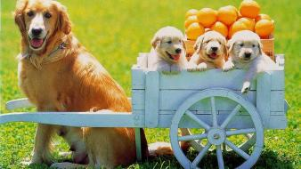 Animals baby cart dogs fruits wallpaper